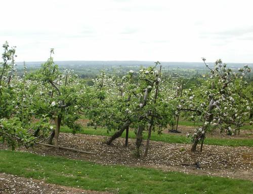 Fruit trees in blossom Kent