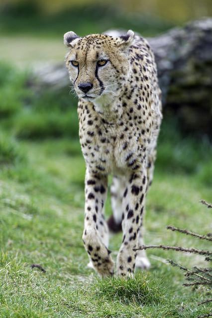 Grumpy cheetah walking