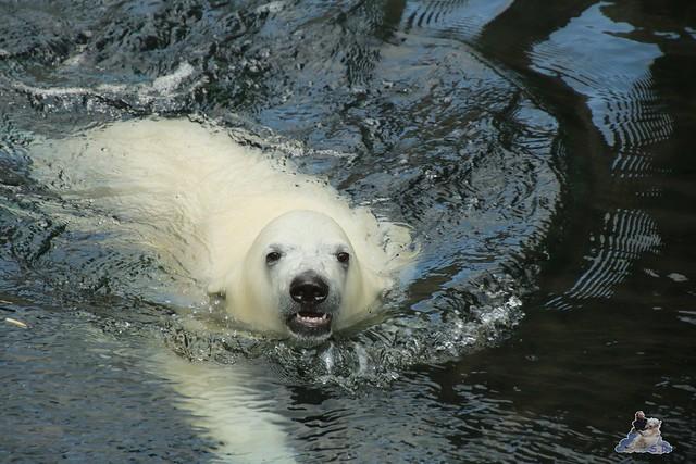 Eisbär Lili im Zoo am Meer Bremerhaven 14.05.2016 Teil 1 037