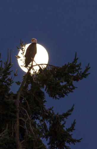 morning moon canada bird beach birds animal silhouette sunrise island dawn bc view eagle britishcolumbia baldeagle bald victoria full fullmoon vancouverisland outline rise majestic birdofprey centralsaanich