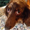My Pitiful Look After I Have Done Something Naughty #dachshund #sadeyes #dogsofinstagram #dapple #weinerdog