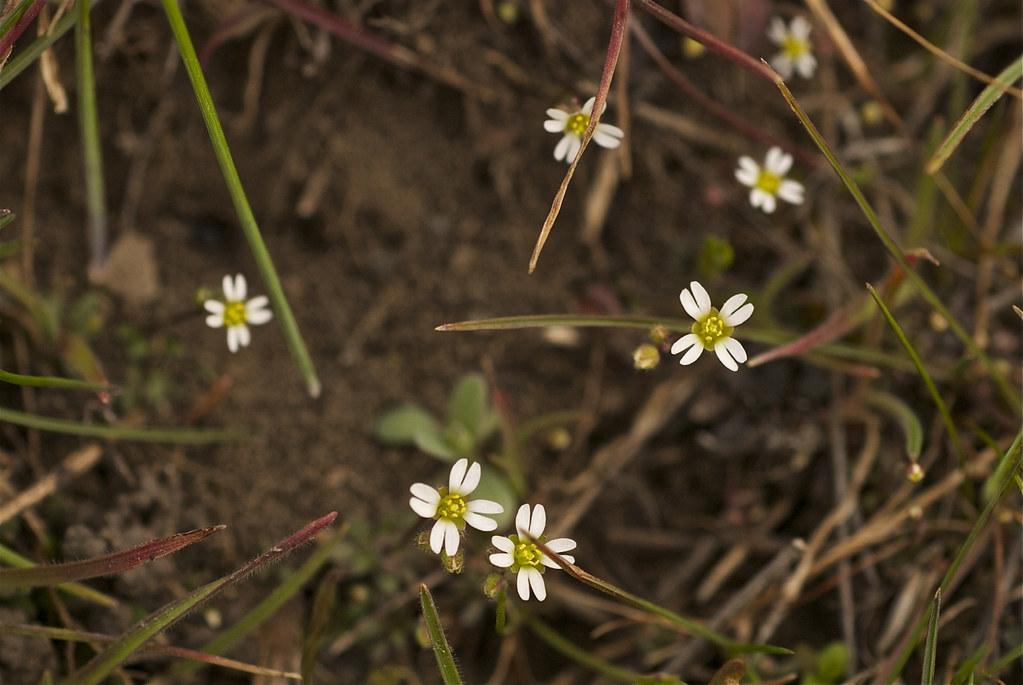 Spring Draba, Spring Whitlow-grass