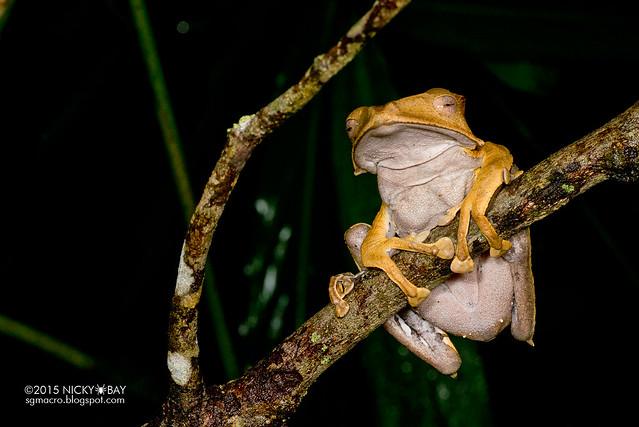File-eared tree frog (Polypedates otilophus) - DSC_2807