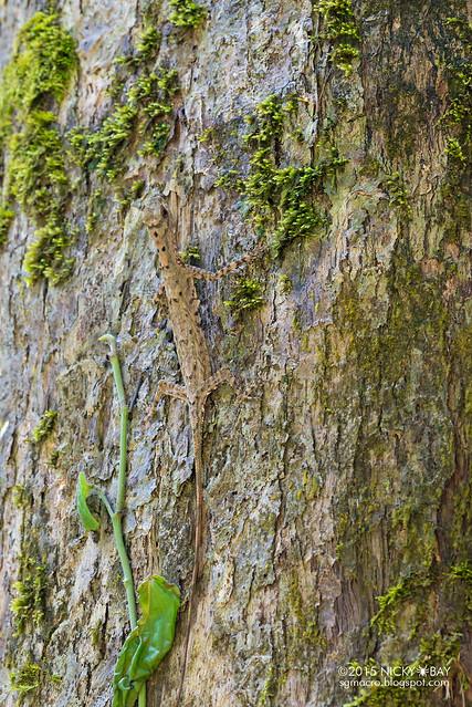 Lizard (Agamidae) - DSC_3123