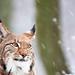 Snow lynx portrait by generalstussner