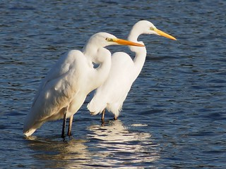 Great Egrets (Ardea alba,ダイサギ)