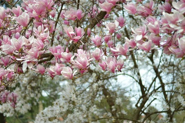 tree, magnolia, rosa, zara, wildflower girl (2)