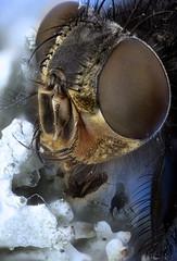 Moscardón posado en un liquen