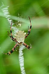 Garden Orb-web Spider (Argiope flavipalpis)