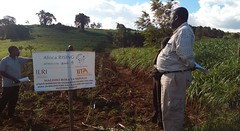 Plot planted with napier and legumes with contour bends planted napier as soil conservations as well as feeds for livestock at Babati, Tanzania