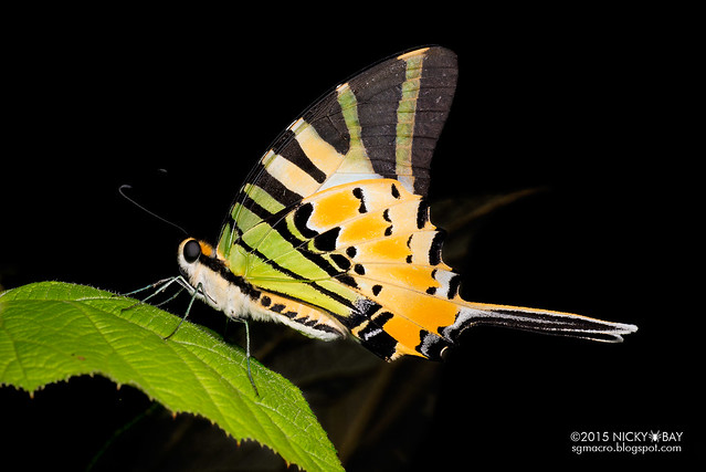Five bar swordtail (Graphium antiphates) - DSC_3654