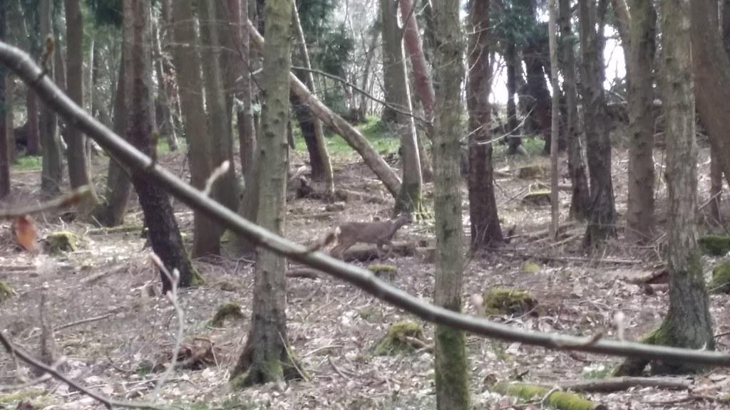 Deer #Wealdway #sh