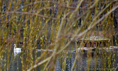 Cisne, Swan