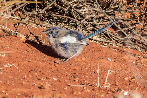 male eclipse White-winged Fairy-wren