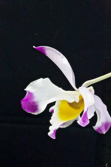 Dendrobium wardianum 17058866607_c34b4523dc_z