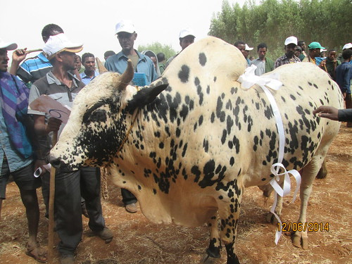 Winner of the fattened cattle show in Merawi