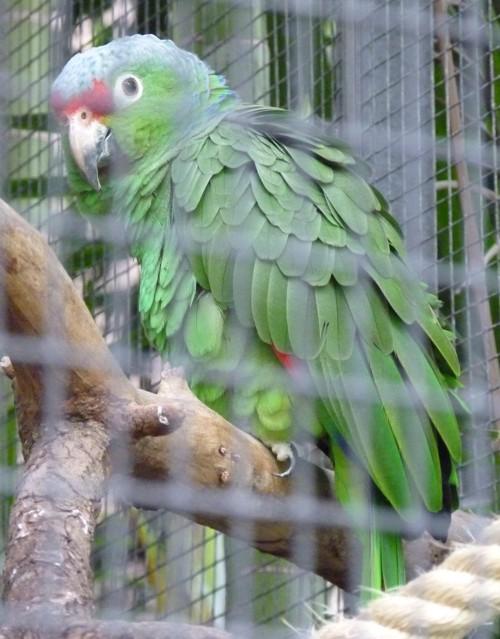 Amazona autumnalis 17152796702_2300199c17_o