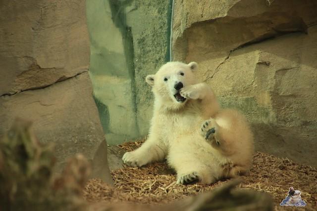 Eisbär Lili im Zoo am Meer Bremerhaven 14.05.2016 Teil 2 0121