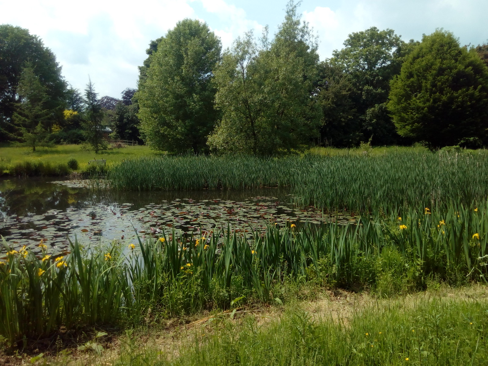 Irises and water lilies in pond near Dedham hall