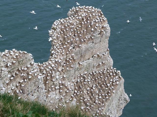 Bempton Cliffs (Yorkshire, Inglaterra)