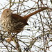 Brown Thrasher by Baltimore Bartender