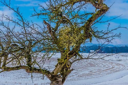 schnee snow tree nature landscape schweiz natur landschaft baum sanktgallen züberwangen