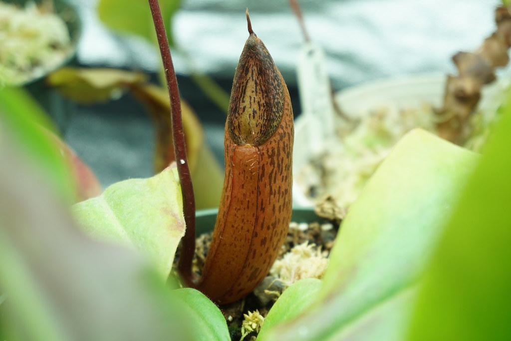N. ventricosa x spectabilis
