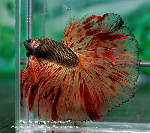 Archived auction fwbettashm1427222995 b for Most expensive fish