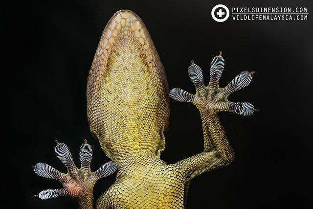 Gecko on glass