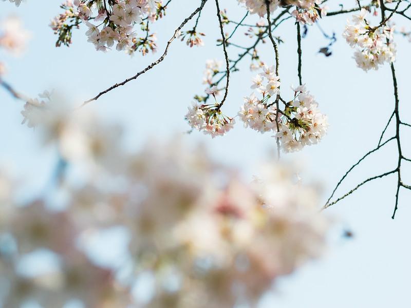 Cherry Blossoms in Rikugien Garden