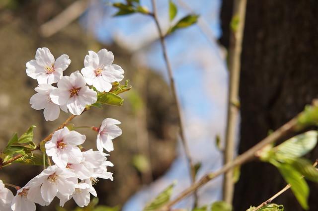 今年の桜1 SONY α57 + MINOLTA AF 70-210mm/F3.5-4.5