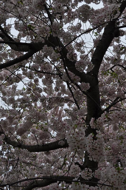 Prunus × yedoensis (4)