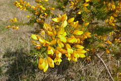 Common Gorse (Ulex europaeus) - Photo of Rouvres