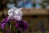 Iris in a Tux Ruffle