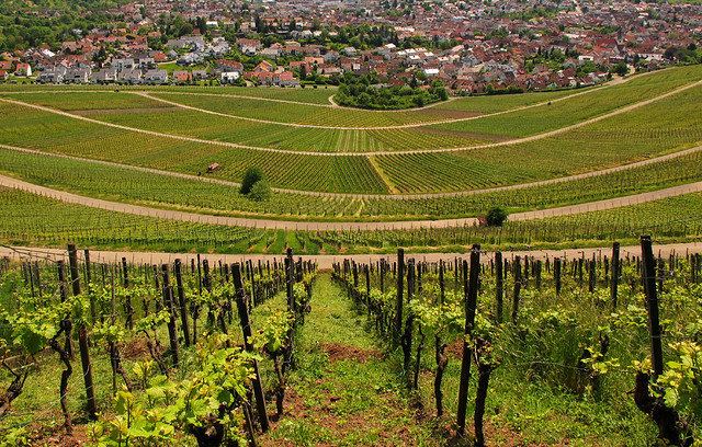 Vineyard in Spring - Korb, Baden-Württemberg, Germany