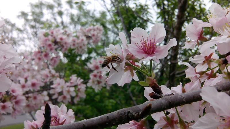 石管局的櫻花