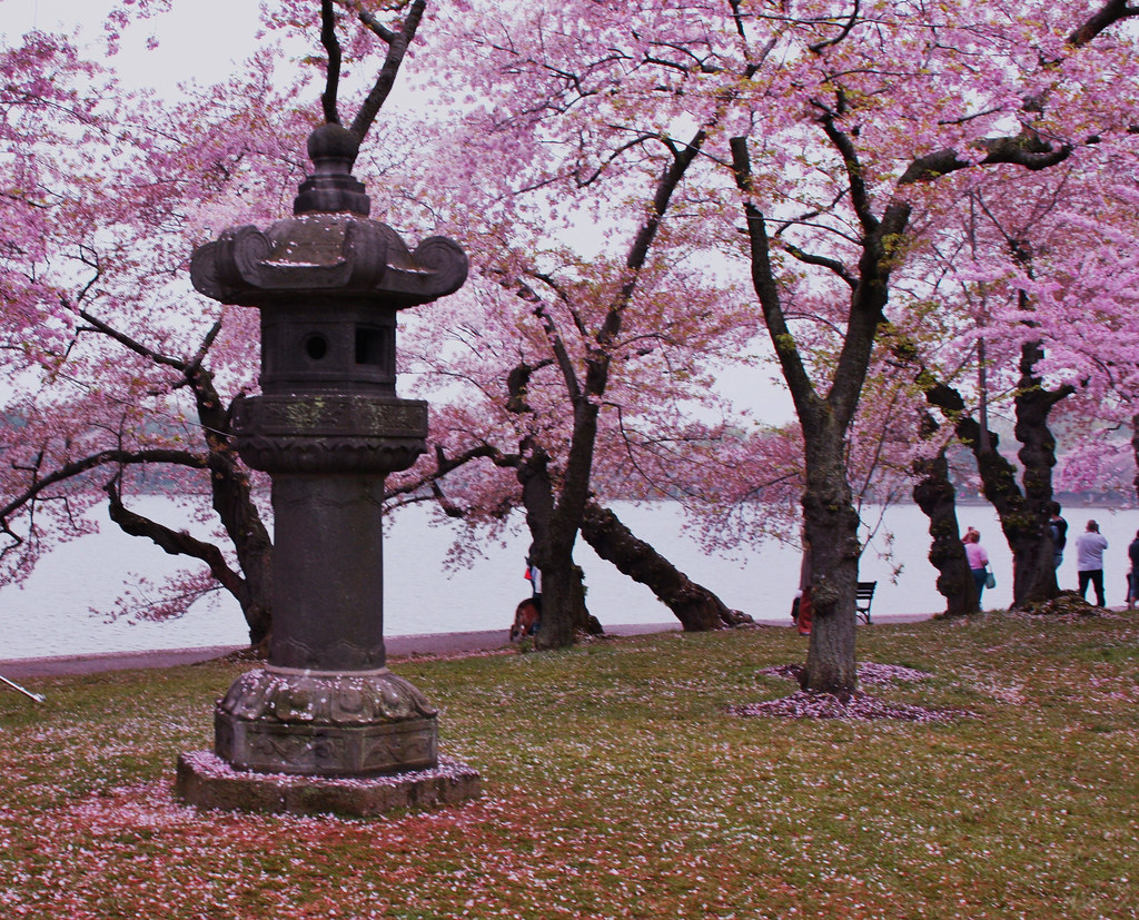 Cherry Blossoms and a pagoda