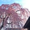 枝垂れ桜🌸 #桜 #枝垂れ桜 #花 #春 #空 #高尾 #sakura #cherryblossoms #flower #sky #spring #takao #tokyo #japan