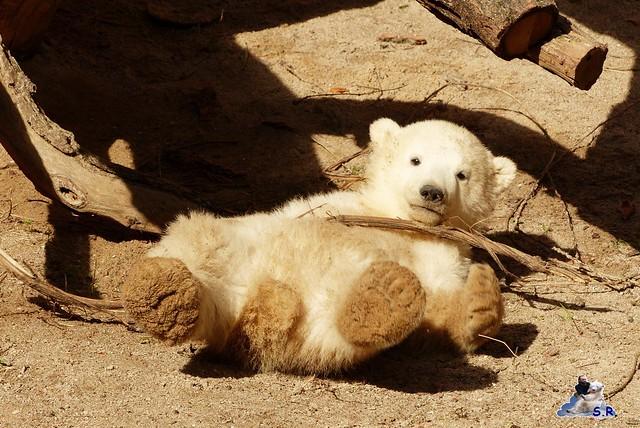 Eisbär Nachwuchs Zoo Rostock 30.03.2015  122