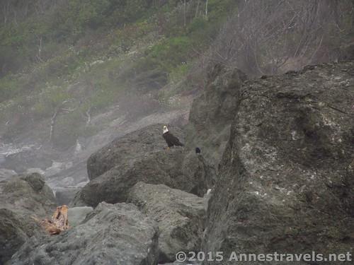 The bald eagle, enjoying his salmon on Ruby Beach, Olympic National Park, Washington