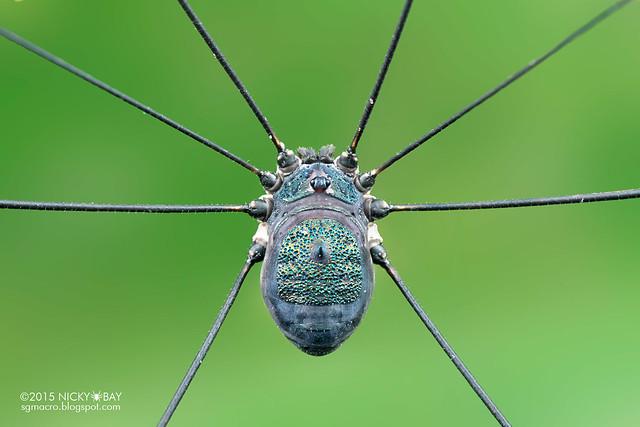 Blue harvestman (Opiliones) - DSC_4466