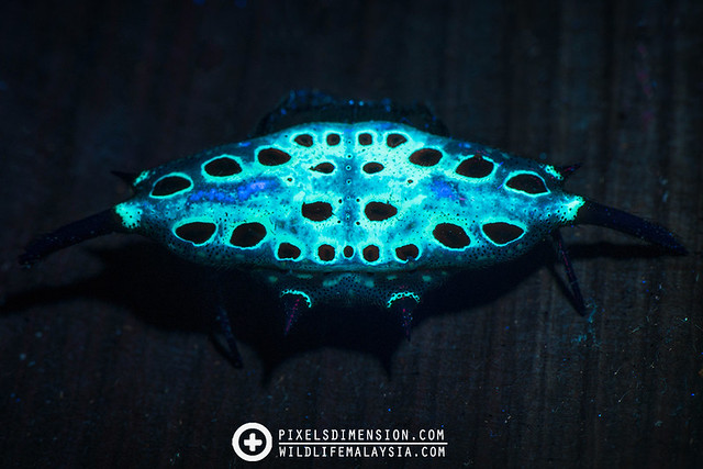 Parallel-spined Spiny Spider (Gasteracantha diardi) under UV illumination 2