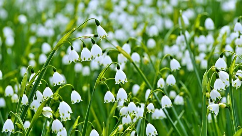 whiteflower explore wildflower snowdrop