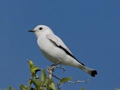 White Monjita