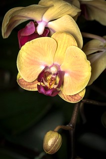 Yellow Orchids on a Vine.