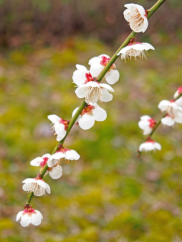 Ume blossoms. 梅