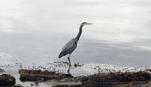 blue_heron.edit - Copy