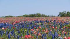 Texas Wildflowers 2015...P52 Week 12
