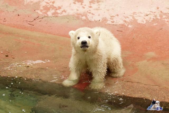 Zoo Rostock Eisbären 28.03.2015  41