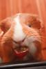 ruakitsune: When you give a guinea pig a grape….they smile!